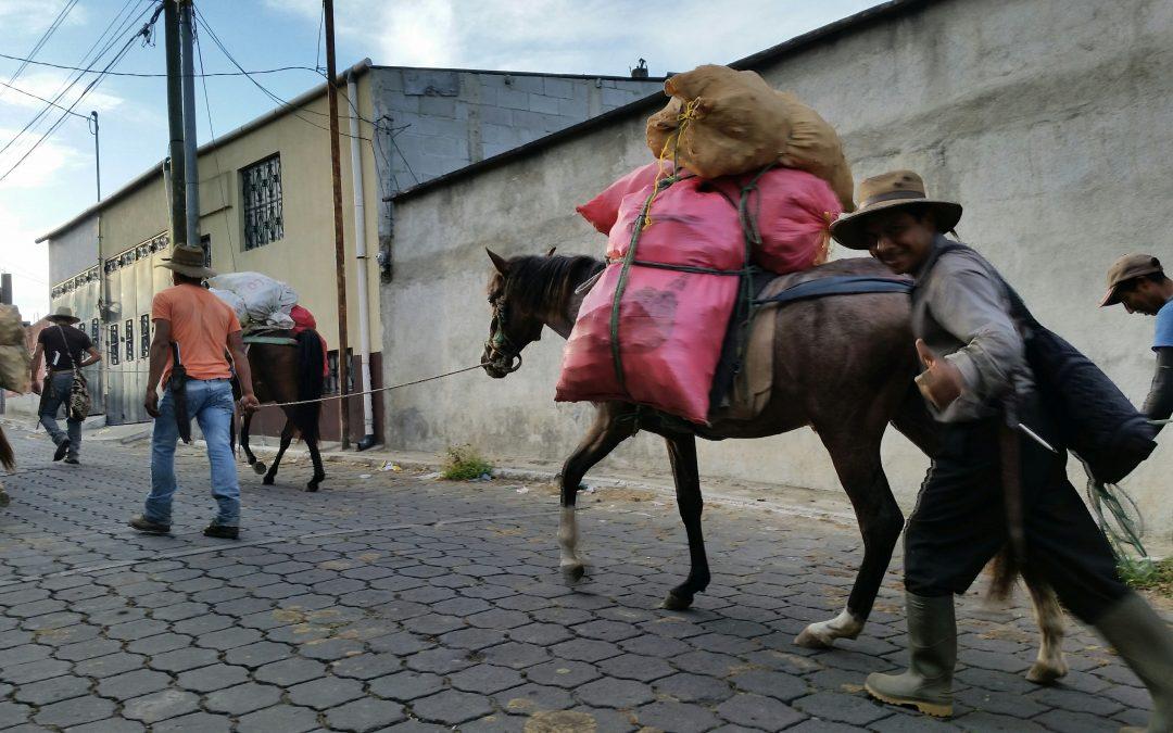 Guatemalan Work Horses